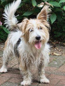 westland-terrier-1560005_1920